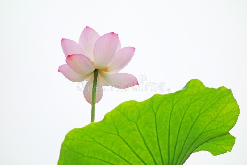 在白色背景的桃红色莲花 免版税库存图片