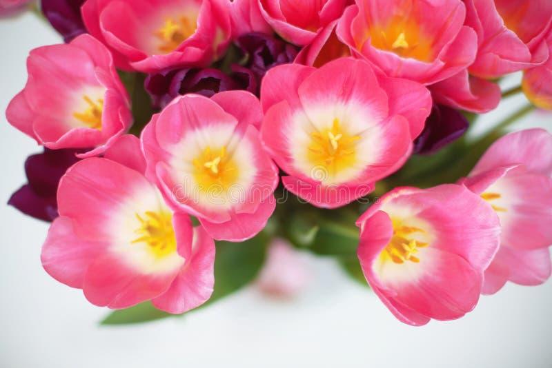 在白色背景的桃红色郁金香花 问候汽车 免版税库存图片