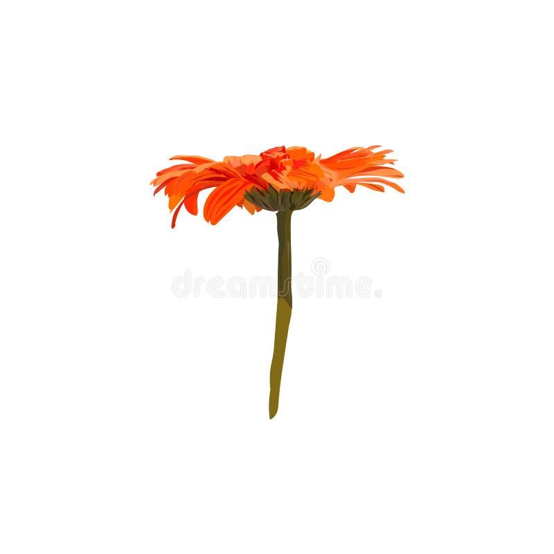 在白色背景的橙色大丁草 库存图片