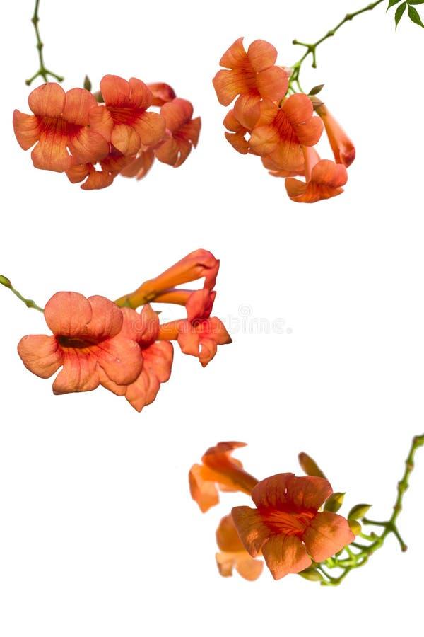 在白色背景的橙色花 库存图片