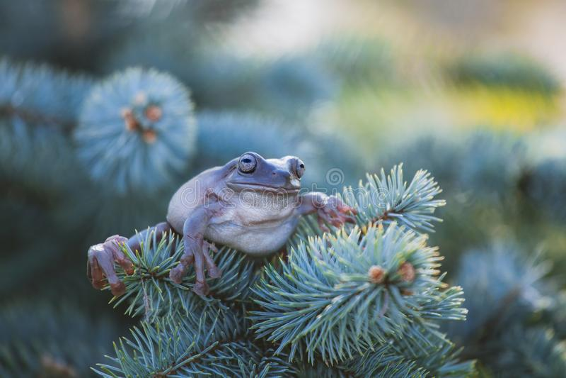 在白色背景的澳大利亚绿色雨蛙 免版税图库摄影