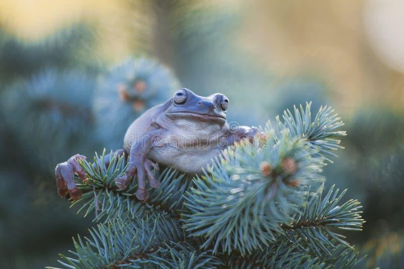 在白色背景的澳大利亚绿色雨蛙 免版税库存照片
