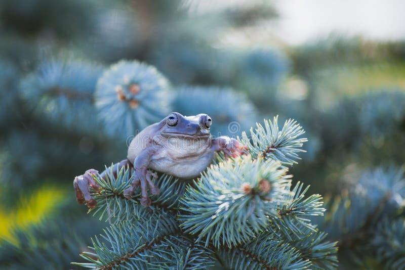 在白色背景的澳大利亚绿色雨蛙 库存图片
