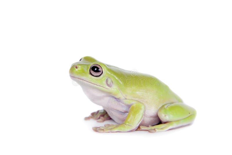 在白色背景的澳大利亚绿色雨蛙 图库摄影