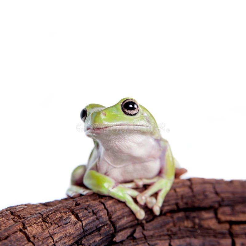 在白色背景的澳大利亚绿色雨蛙 免版税库存图片