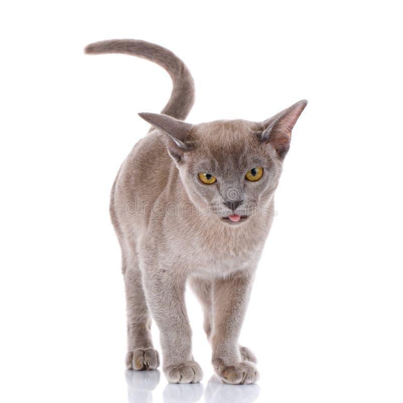 在白色背景的灰色猫与开放嘴显示舌头 免版税库存照片