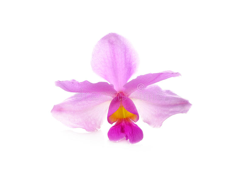 在白色背景的热带桃红色兰花 库存照片