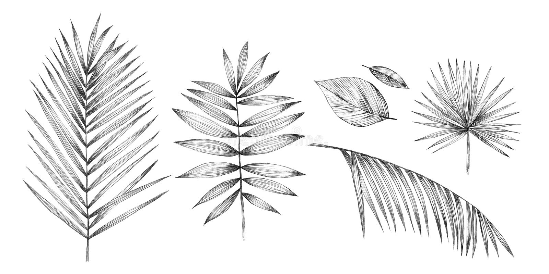 在白色背景的热带棕榈叶 手铅笔图 向量例证