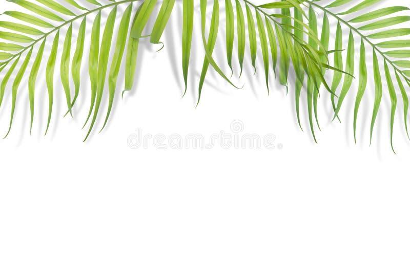 在白色背景的热带棕榈叶 最小的自然 夏天 库存照片