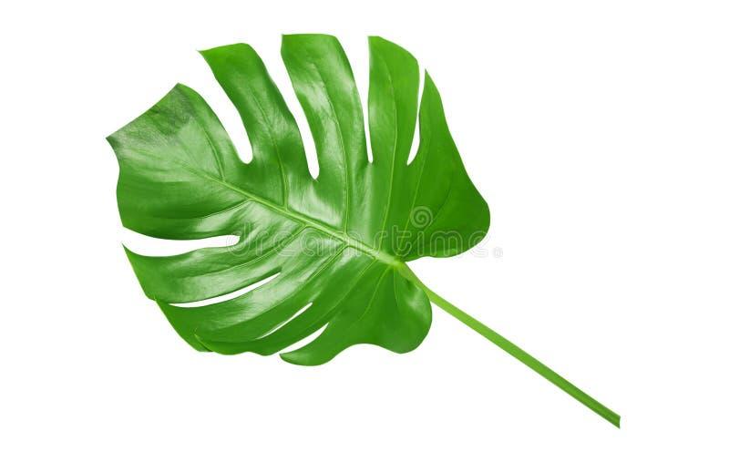 在白色背景的热带绿色叶子 免版税图库摄影