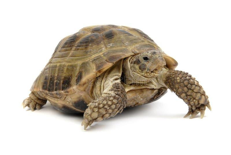 在白色背景的爬行的草龟 免版税库存图片