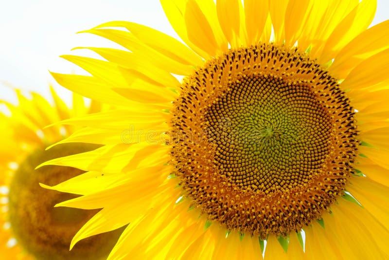 在白色背景的特写镜头向日葵 免版税库存照片