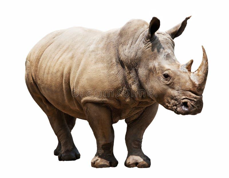 在白色背景的犀牛 库存图片
