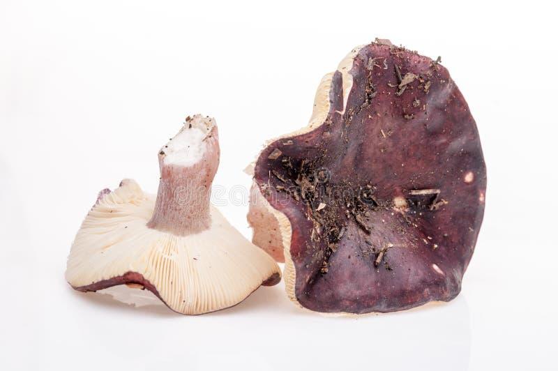 在白色背景的狂放的蘑菇 库存图片
