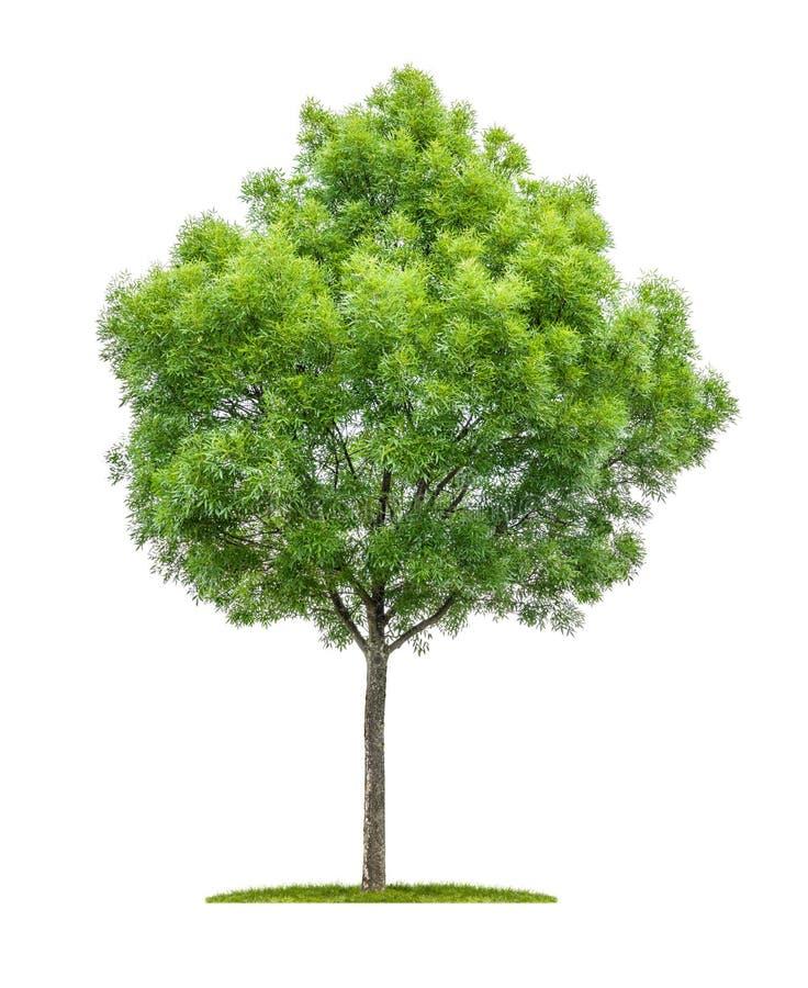在白色背景的狭窄生叶的树 库存图片