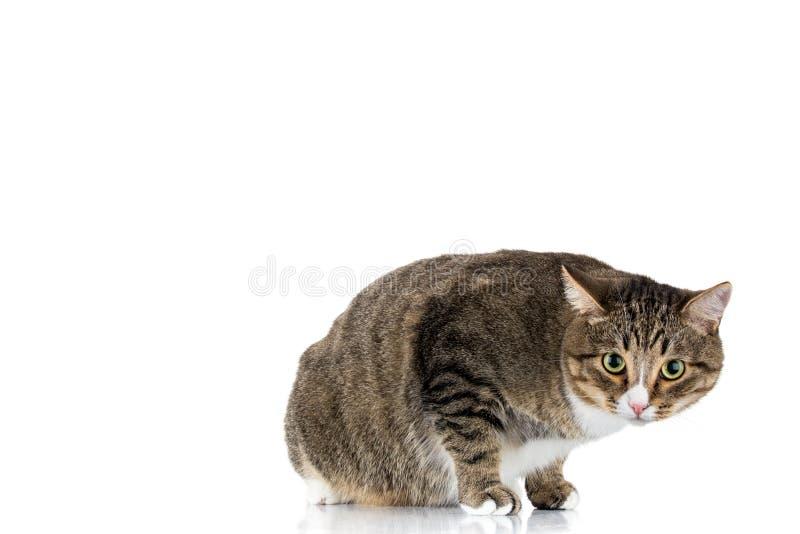 在白色背景的猫 免版税库存图片