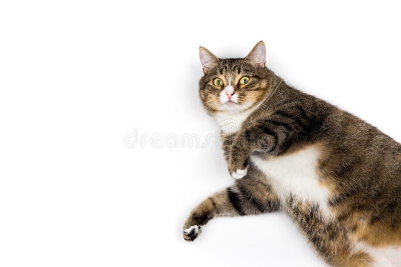 在白色背景的猫 免版税库存照片