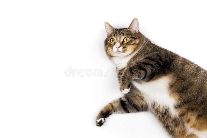 在白色背景的猫 库存图片