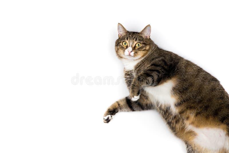 在白色背景的猫 免版税图库摄影