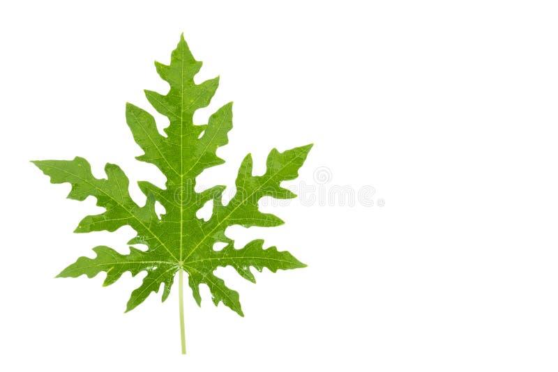 在白色背景的番木瓜叶子 免版税库存图片
