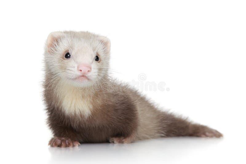 在白色背景的白鼬小狗 免版税库存图片