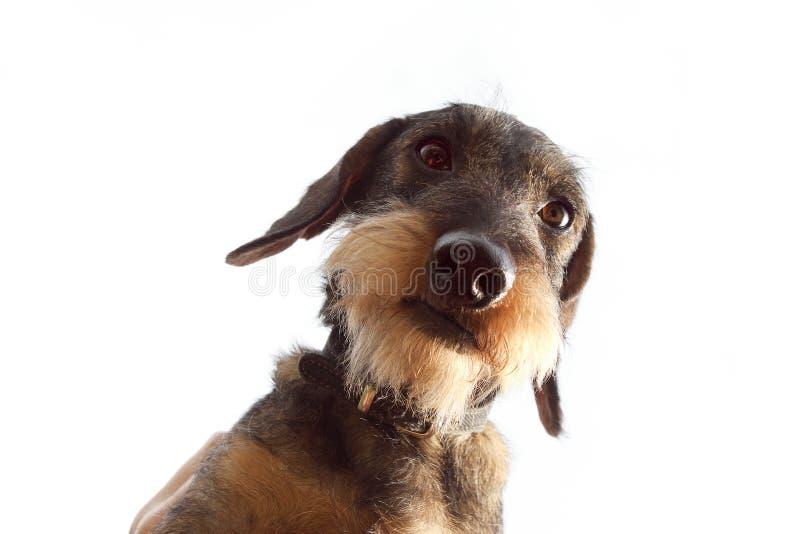 在白色背景的硬毛的达克斯猎犬狗 免版税库存图片