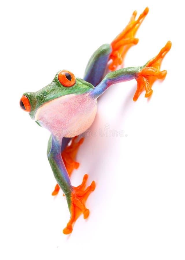 在白色背景的红眼睛的雨蛙 库存图片