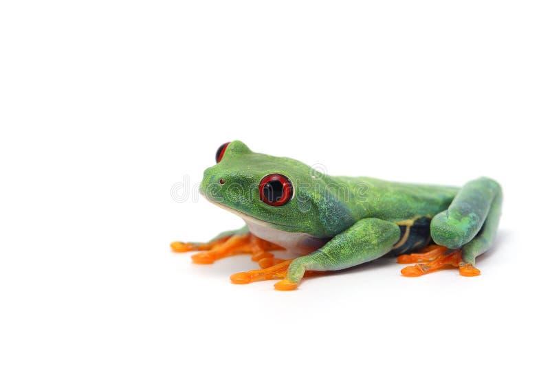在白色背景的红眼睛的雨蛙 库存照片