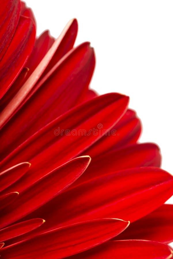 在白色背景的红色大丁草瓣 库存照片