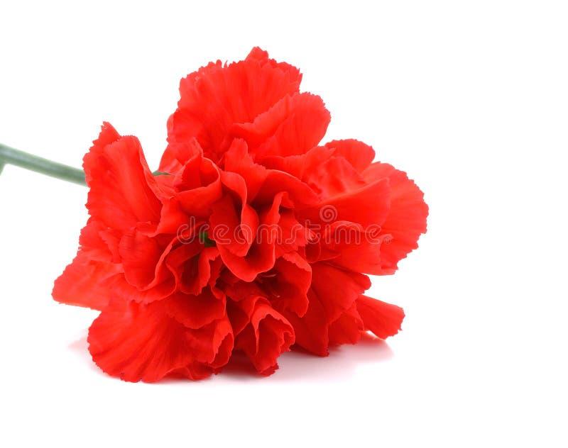 在白色背景的红色康乃馨花 免版税库存照片