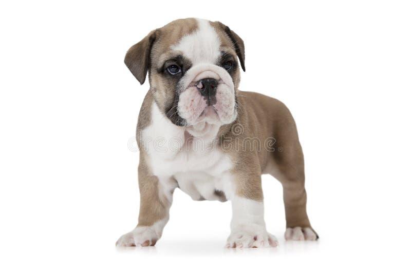 在白色背景的纯血统英国牛头犬 免版税库存图片