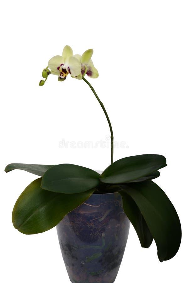 在白色背景的绿色兰花花 免版税库存图片