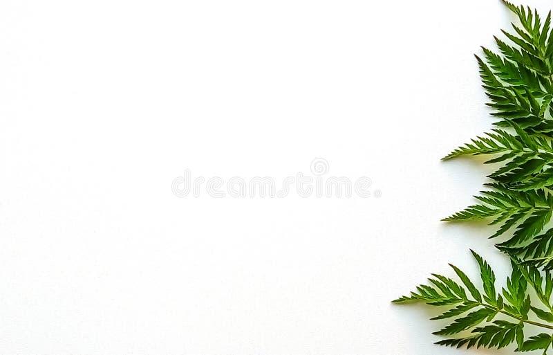 在白色背景的绿色叶子 库存图片