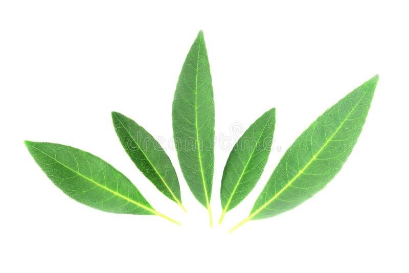 在白色背景的绿色叶子 免版税库存图片