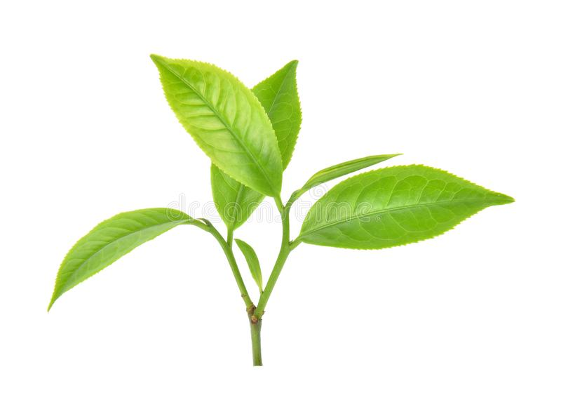 在白色背景的绿色茶叶 免版税图库摄影