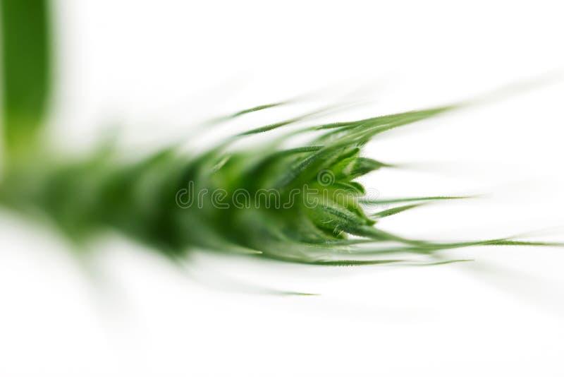 在白色背景的绿色麦子 宏指令 免版税库存照片