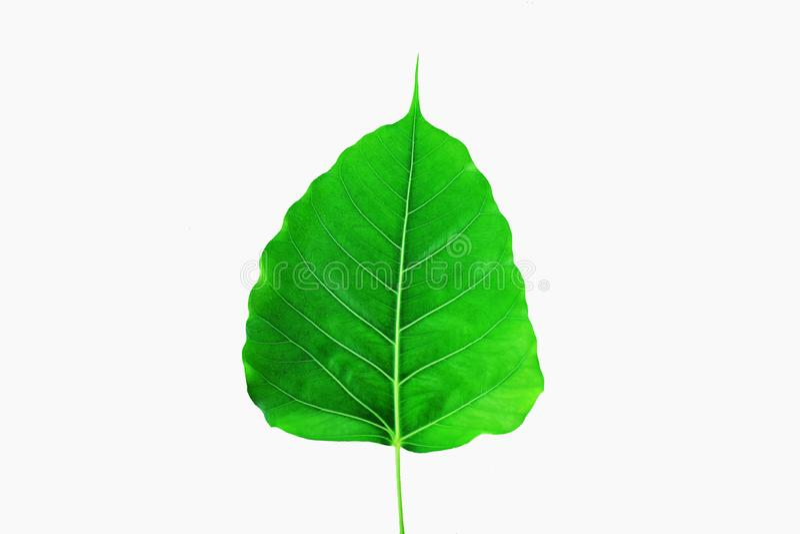 在白色背景的绿色pho叶子 免版税库存图片
