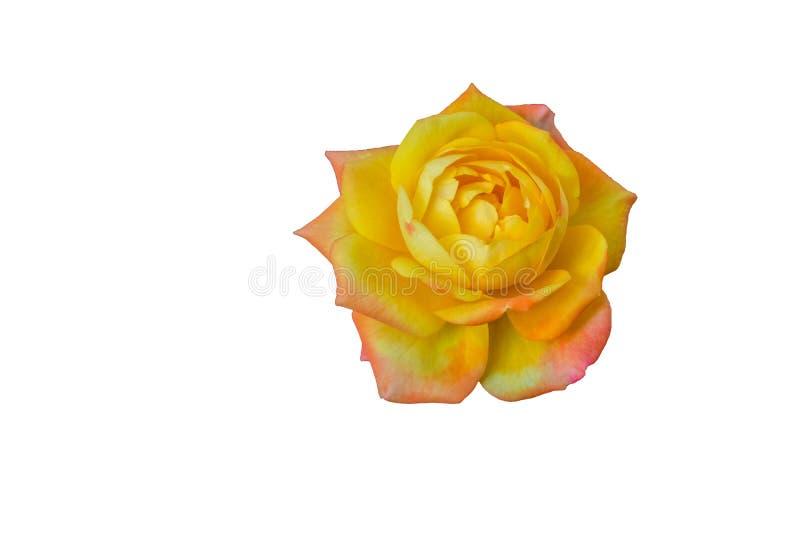 在白色背景的美丽和acrative黄色玫瑰 图库摄影