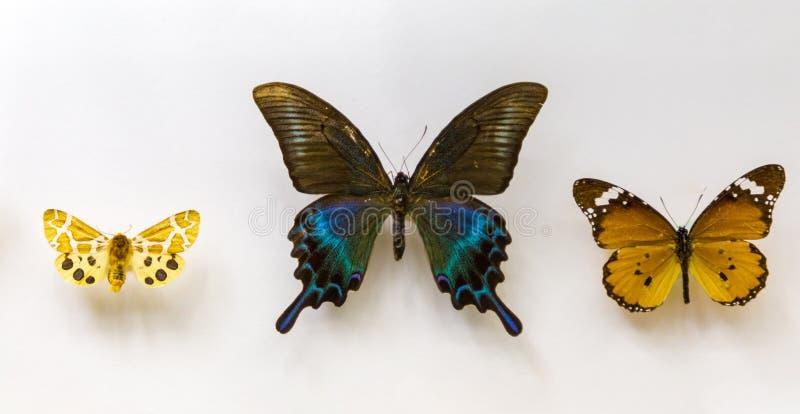 在白色背景的美丽的三蝴蝶 免版税库存照片