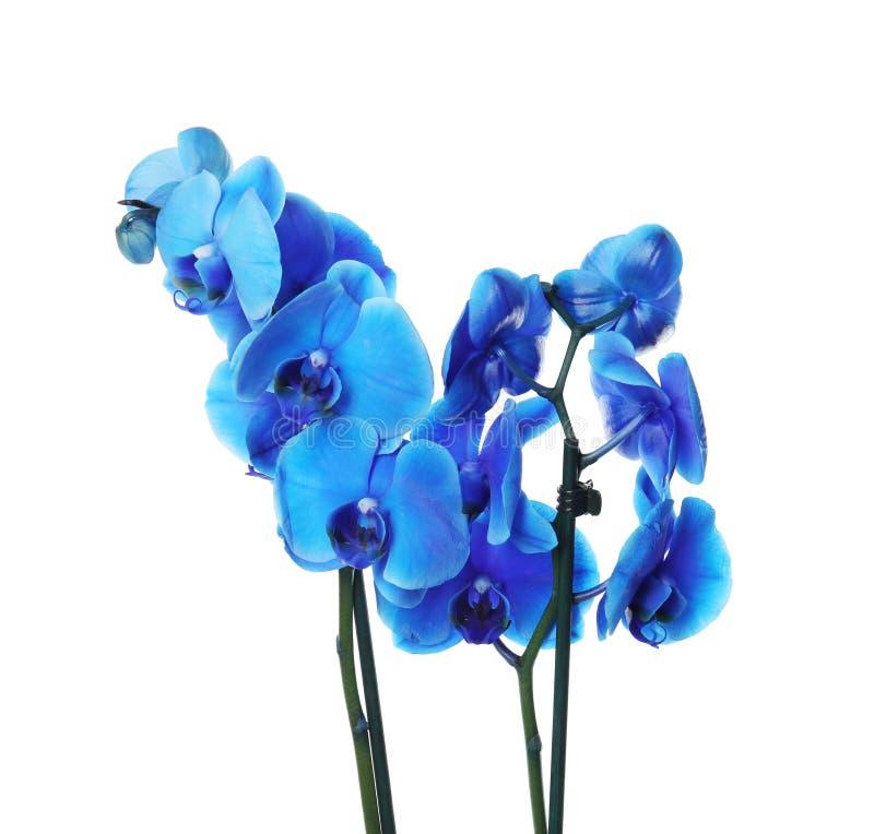 在白色背景的美丽的兰花花 免版税库存图片