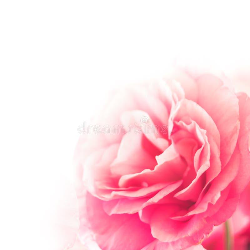 在白色背景的美丽的南北美洲香草花 图库摄影