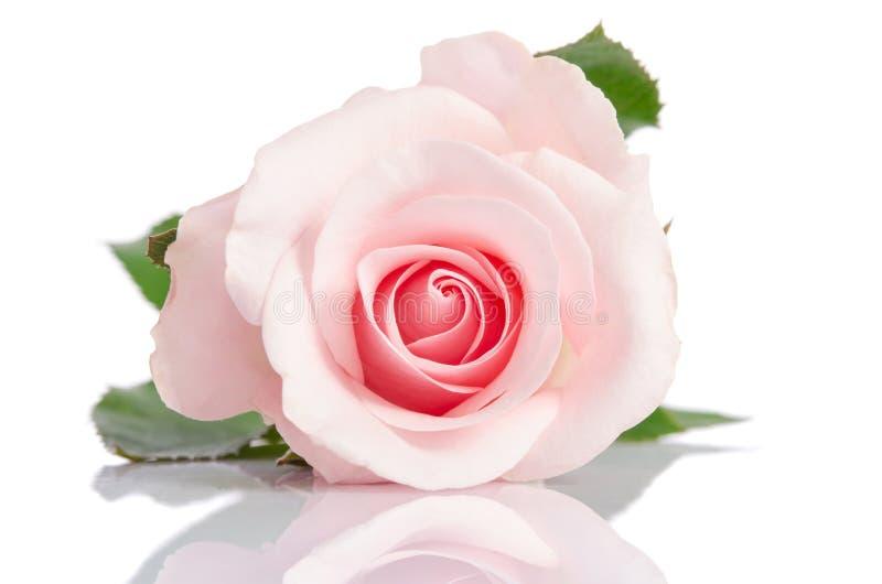 在白色背景的美丽的唯一桃红色玫瑰 免版税库存照片