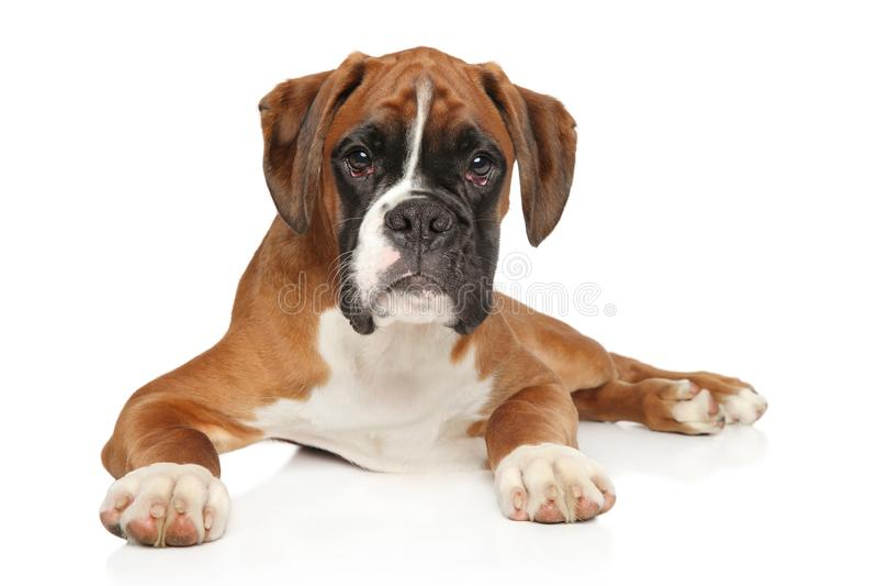 在白色背景的美丽的德国拳击手小狗 免版税库存图片