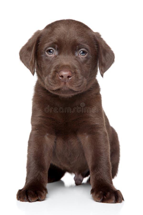 在白色背景的美丽的拉布拉多小狗 图库摄影
