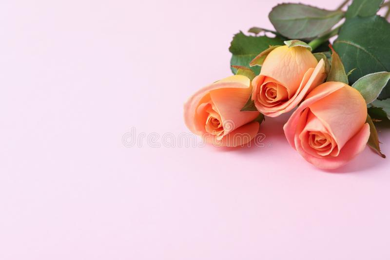 在白色背景的美丽的新鲜的桃红色玫瑰 库存图片