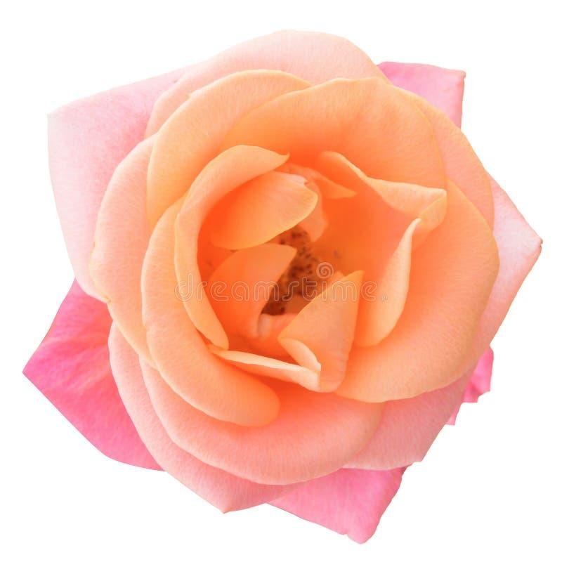 在白色背景的美丽的桃红色罗斯花 免版税库存照片