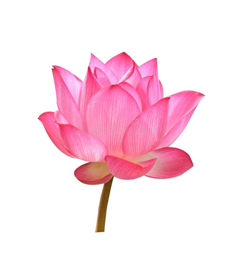 在白色背景的美丽的桃红色莲花 免版税库存照片
