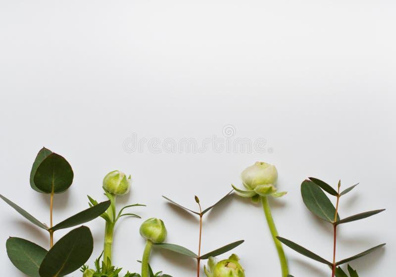 在白色背景的美丽的毛茛属花蕾 玉树分支   库存图片