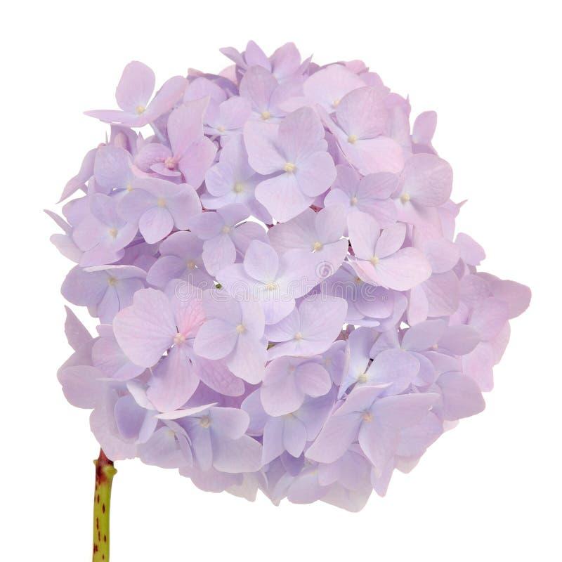 在白色背景的美丽的浅紫色的八仙花属花 免版税图库摄影