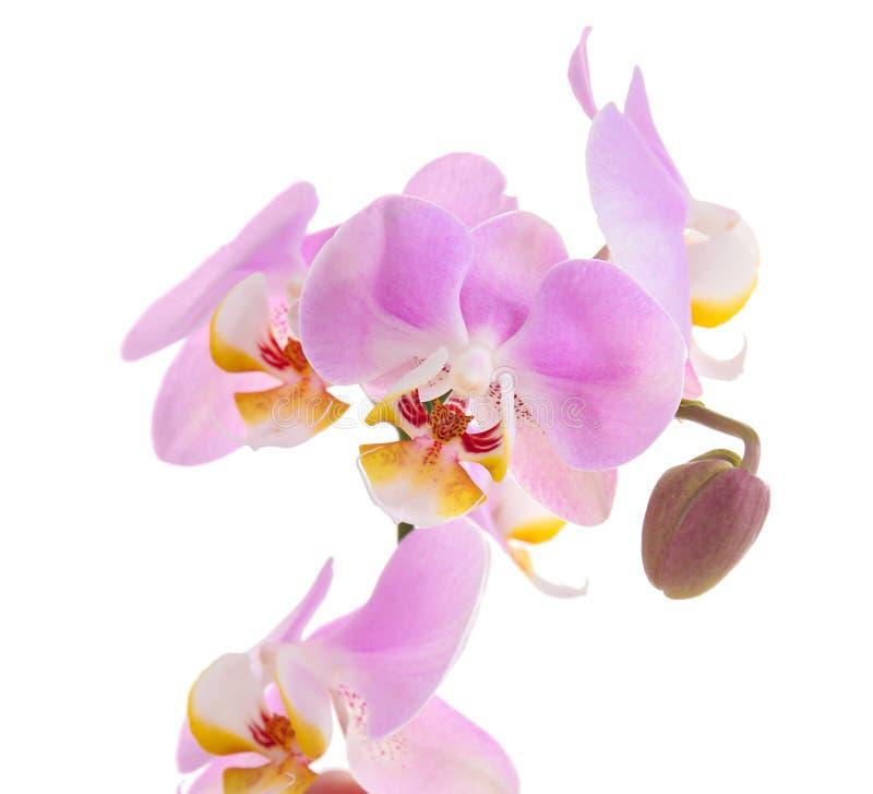 在白色背景的美丽的热带兰花花 库存照片